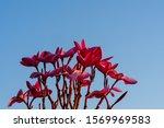 Oleander Flower And Sunlight I...