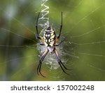 Black And Yellow Garden Spider...
