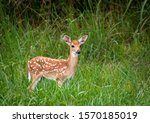 White Tailed Deer Fawns In The...