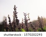 lavender tree with shining...   Shutterstock . vector #1570202293