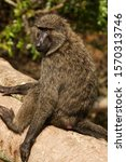 Small photo of A female Olive Baboon sits in a relaxed manner on a tree branch overhanging the Ishasha River in the Queen Elizabeth National Park.