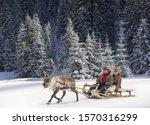 A Reindeer Pulling A Senior...