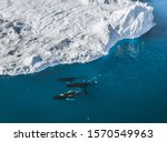 Small photo of 3 Humpback Whale dive near Ilulissat among icebergs. Their source is by the Jakobshavn glacier. The source of icebergs is a global warming and catastrophic thawing of ice, Disko Bay, Greenland