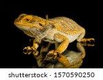 Agama Bearded Dragon Reptile O...