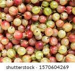 Gooseberry Harvest  A Crop Of...