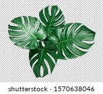 Green monstera leaf on isolated ...