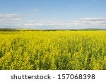 Canola Crop In Bloom