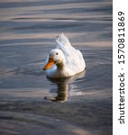 White Duck Swims In The Lake.