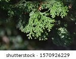 Hinoki Cypress Branch   Latin...