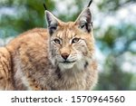 Closeup and detailed animal wildlife portrait of a beautiful eurasian lynx (lynx lynx, felis lynx), outdoors in the wilderness. Eye contact and close encounter, details of tufts and face. Green bokeh.