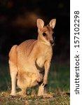 Small photo of Female Agile Wallaby (Macropus agilis), Kakadu National Park, Northern territory, Australia