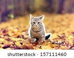 Stock photo british kitten in autumn park fallen leaves 157111460