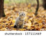 Stock photo british kitten in autumn park fallen leaves 157111469