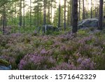 Forest With Heather Flowers On...