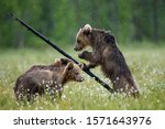 Brown bears in a forest glade are playing with each other. White Nights. Summer. Finland.