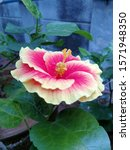 Hibiscus Flower With Red And...