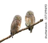 Stock photo asian barred owlet glaucidium cuculoides on white 157199693