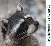 Begging Look Of A Raccoon. The...