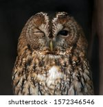 A Winking Tawny Owl. Close...