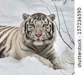 Gaze Of A White Bengal Tiger ...