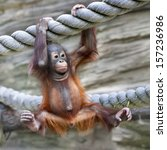 A Young Orangutan Is Ready For...