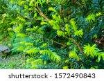 The Juniper Bush Closeup....