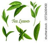 Tea Leaves Vector Botanical...