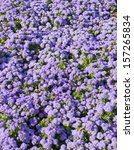 Small photo of Flower bed with many flowers Ageratum houstonianum blue colour.