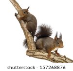 Two Red Squirrels Climbing On A ...