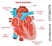 heart anatomy cross section... | Shutterstock .eps vector #157286378