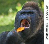 A Gorilla Male  Silverback ...