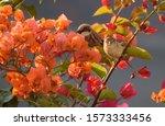Female House Sparrow Among...
