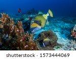 Large Titan Triggerfish Feedin...