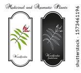 woodfordia fruticosa  medicinal ... | Shutterstock .eps vector #1573461196