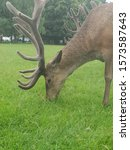 Small photo of Stags head grazing stag stag
