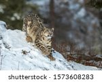 Himalayan Snow Leopard On The...