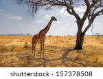 giraffe eating from a tree in a ... | Shutterstock . vector #157378508