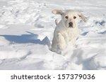 Stock photo winter labrador retriever puppy dog running in snow 157379036