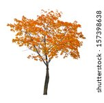 Orange Autumn Maple Tree...