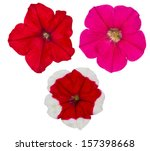Set Of Petunia Flowers Isolate...