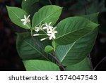 Flower. Holarrhena...