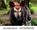 The Shy And Elusive Okapi Is...