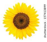 sunflower isolated on white... | Shutterstock . vector #157413899