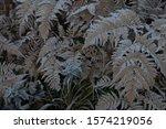 Frozen Ferns In A Winter Morning