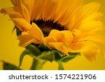 Sunflower. Macrophortography Of ...