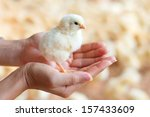Female Hands Holding A Chick I...