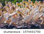 Great White Pelican  Eastern...