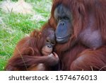 Mother And Baby Orangutans...
