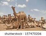 camel market in somalia | Shutterstock . vector #157470206