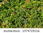 Mesembryanthemum Cordifolium...